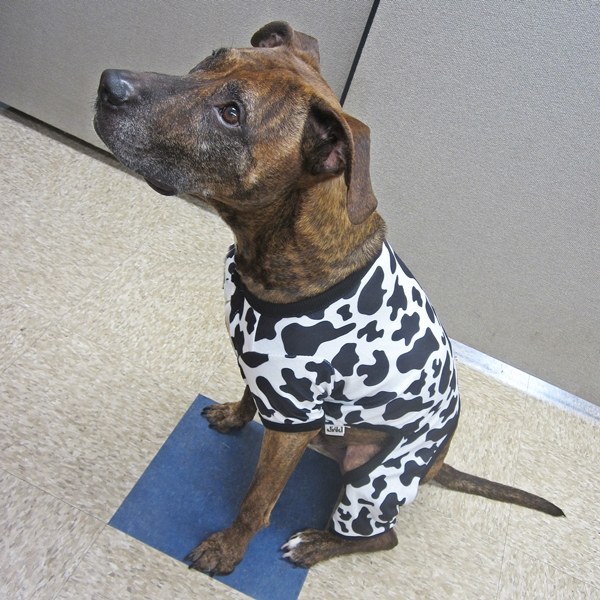 Large Luv Gear Cow Print Pajamas for Dogs