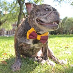 Garnet and Gold Bow Tie