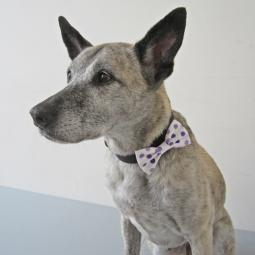 Purple and White Polka Dot Collar Bow (velcro)