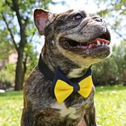 Yellow and Blue Bow Tie